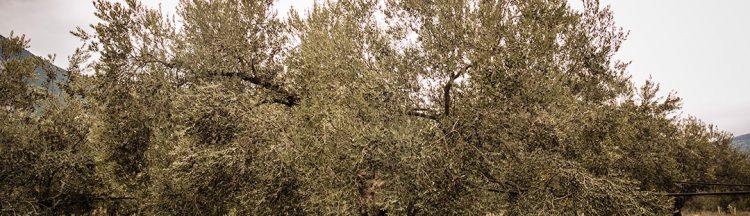 Die manaki Olivensorte